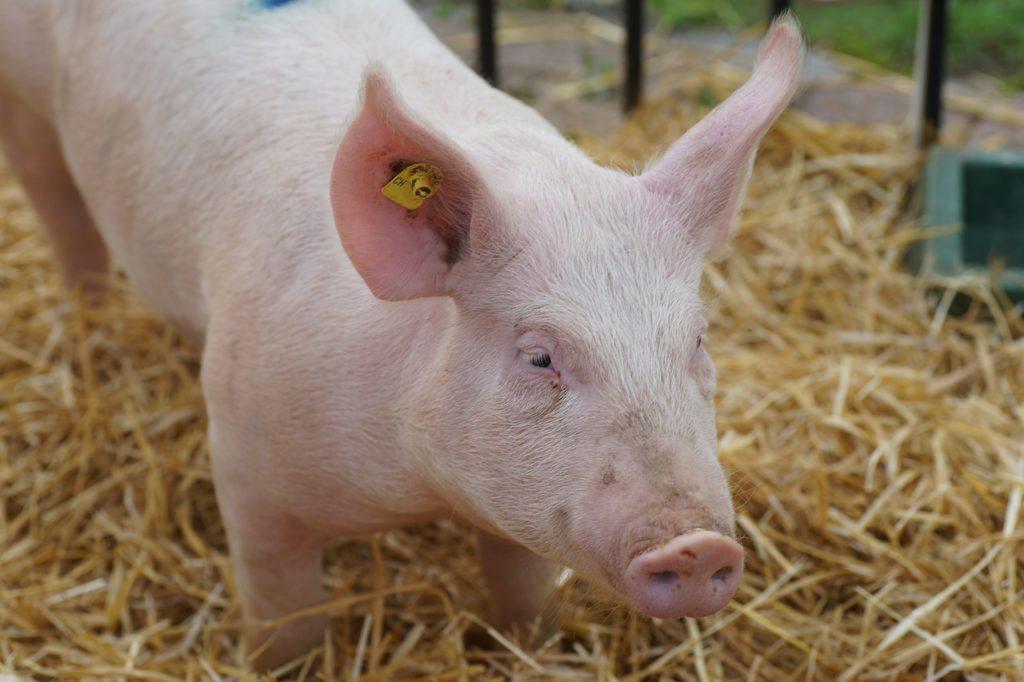Cochon dans son étable