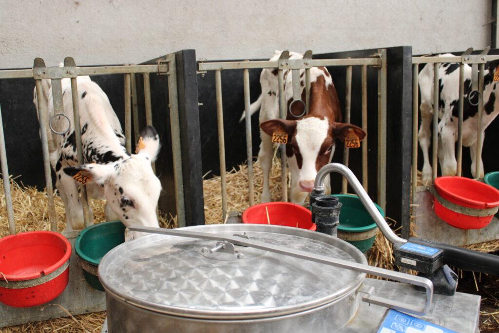 Vaches - Allaitement